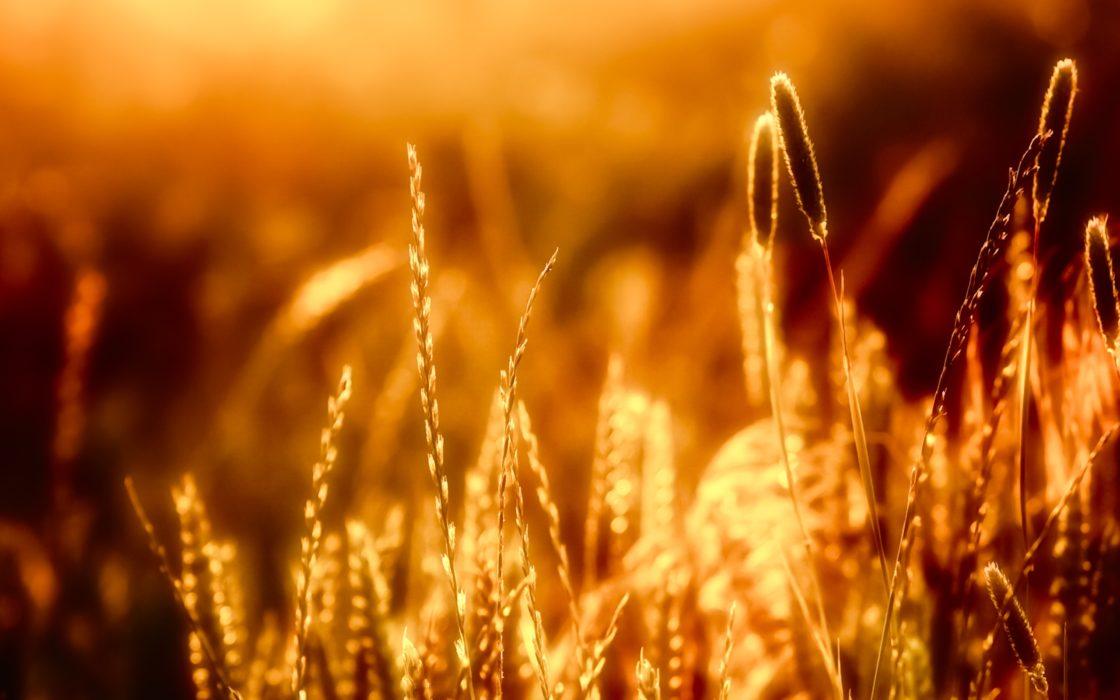 Warm Sun On Wheat