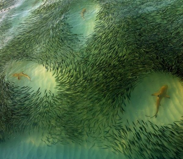 Fish Shark
